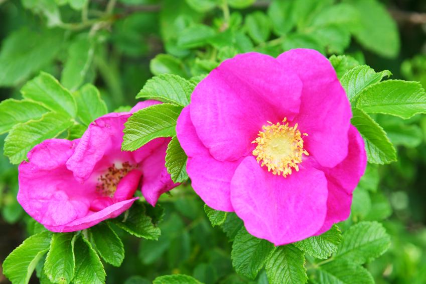 purple wild rose. Black Bedroom Furniture Sets. Home Design Ideas